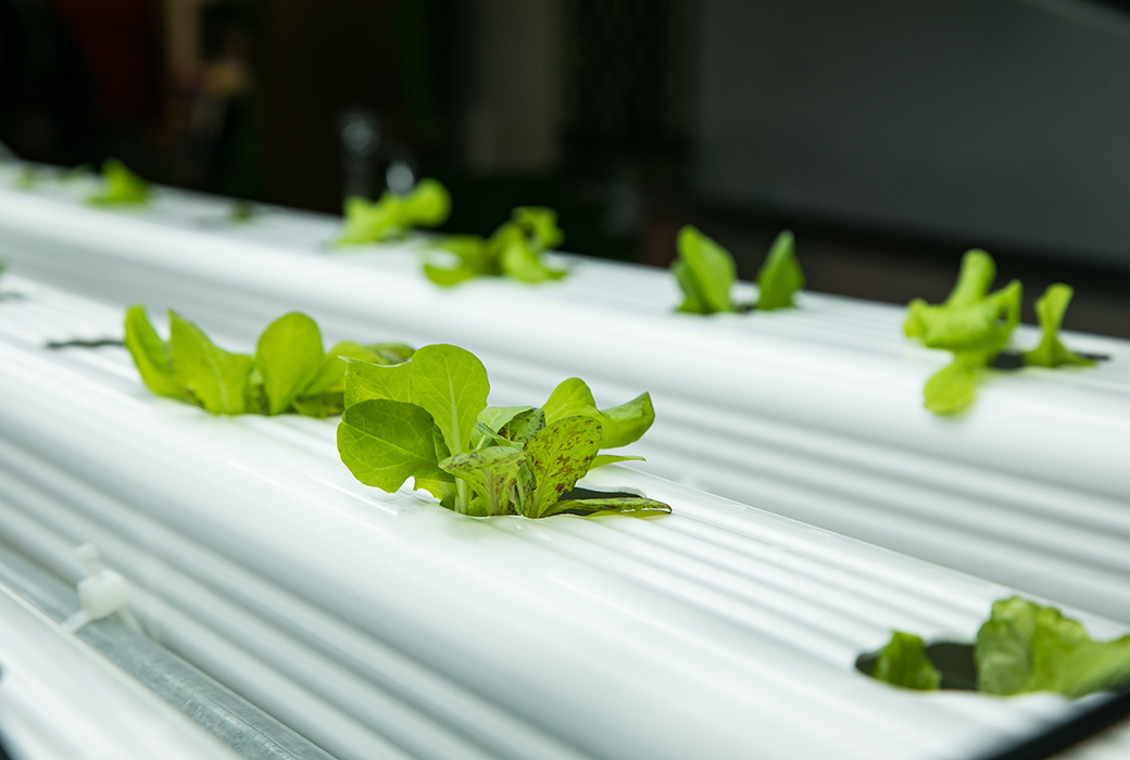 The lettuce from the new hydroponics lab will be used in the school dining hall.
